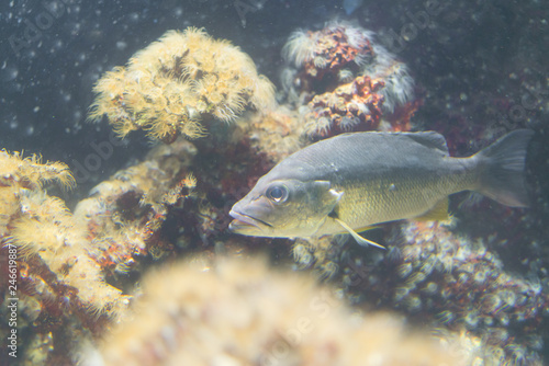 Photo Snapper fish underwater swimming over kelp forest