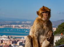 Barbary Ape Above Gibraltar