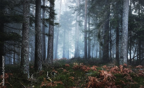 Fototapeta  Dark mysterious pine forest in mist with a carpet of moss and fern