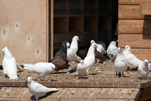 Wooden Dovecot With White And Black Pigeons