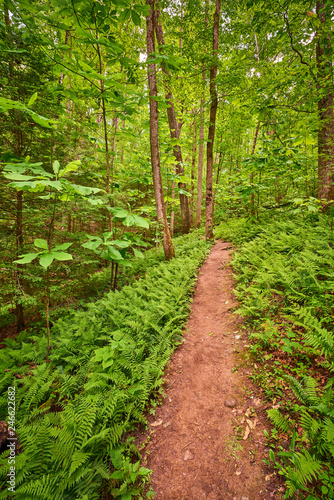 Photo Ferns Lined Trail, Red River Gorge  KY