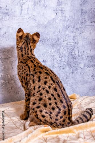 Plakat Savannah F1, hybryda Serval i Savannah.