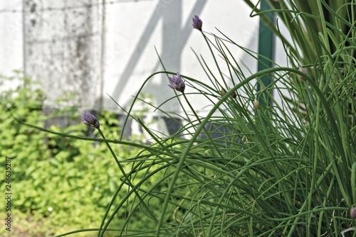 Fotografie, Obraz  erba cipollina in fiore