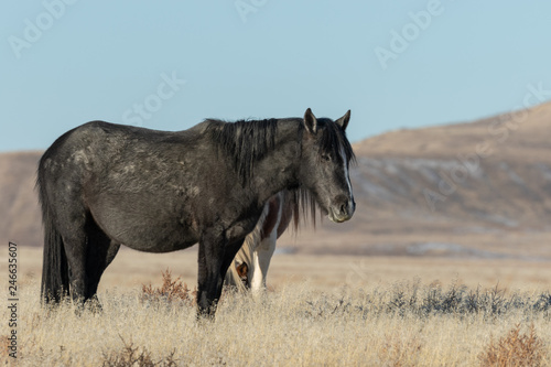 Majestic Wild Horse in Winter