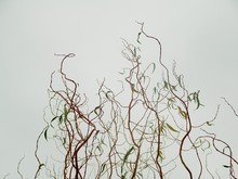 Thin Curly Willow Branches Against A Light Background. Patterned Plant Decoration