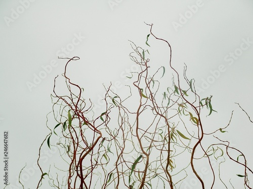 Photo Thin curly willow branches against a light background