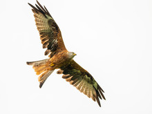 Red Kite ( Milvus Milvus )