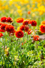 Giant Ranunculus Flowers Growing In A Field On A Sunny Day. Orange Colored Flowers