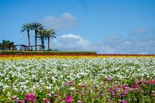 Giant Ranunculus Flowers Growi...