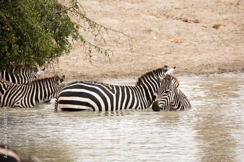 Photo Stands Zebra Zebra (Equus quagga)