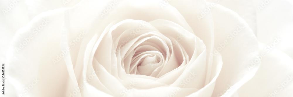 Fototapety, obrazy: White rose blossom panorama
