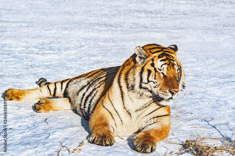 Tiger on the snow at sunny winter day.