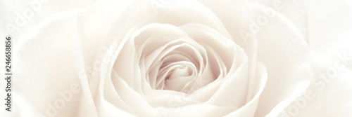 Canvas Prints Roses White rose blossom panorama