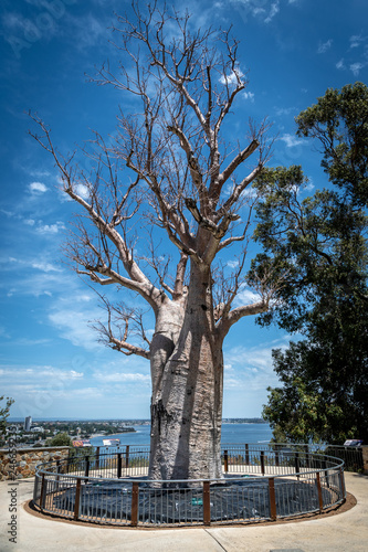Fototapeta Adansonia digitata alias Baobab tree without leafs in Kingspark of Perth