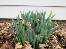 Young Daffodils Buds Coming Up Group In The Spring