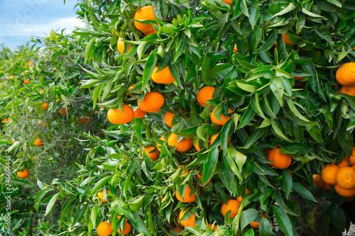 Closeup of ripe tangerines on tree
