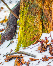 Moss Covered Tree Trunk And Dry Leaves In The Snow