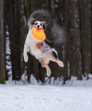 Dog Australian Shepherd Catches Orange Disc In The Snow