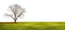 Isolated Tree Without Leaves On White Background With Green Grass Lawn In Winter. Copy Space.