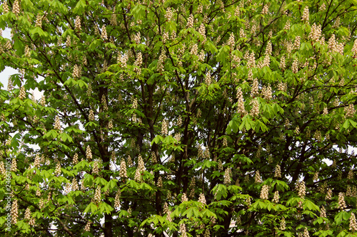 Abstract Nature Background. Botanical Beauty. Cropped Shot Of Chestnut Tree.