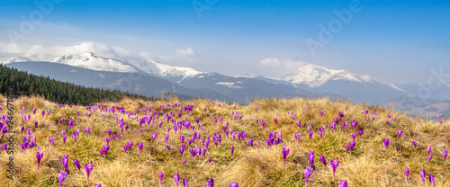 Spring snow melt and in the Carpathian valleys grow beautiful alpine flowers crocuses, they are also Geyfelya, primroses, mountain landscape, wide panorama, spring background for billboard