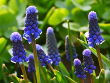 Blue Grape Hyacinth Flowers On...
