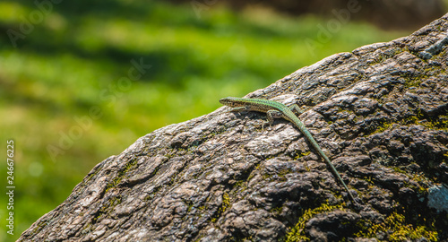 Photo lizard walking on a tree trunk in nature