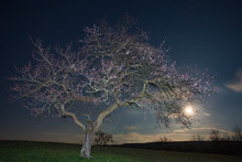 Apricot Tree In Full Blossom During The Night. The Moon Is Rising In The Background.