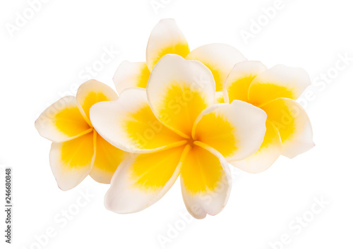 Photo Stands Plumeria frangipani isolated