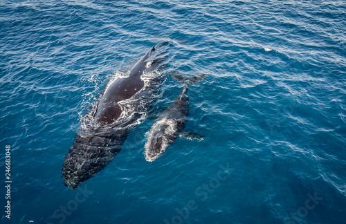 Plakat Humpbacks na Hawajach