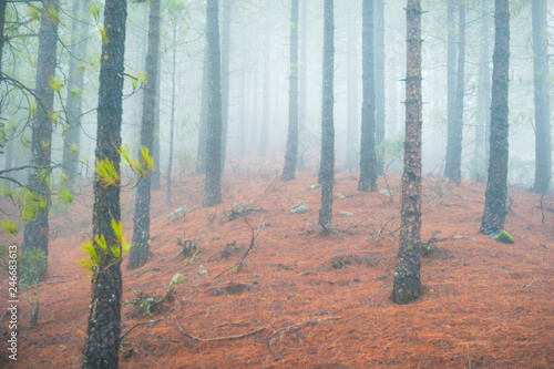 Nature landscape of foggy pine forest Canvas