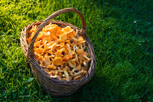 Wooden Basket Filled With Chanterelle Mushrooms On Green Grass With Sunshine