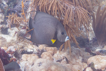 Gray Angelfish On Coral Reef