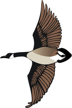 Canadian Goose Flying Vector Illustration