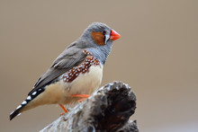 Portrait Of A Zebra Finch (tae...