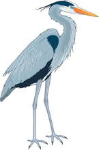 Great Blue Heron Vector Illustration