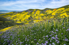 Mountains In Super Bloom, Cali...
