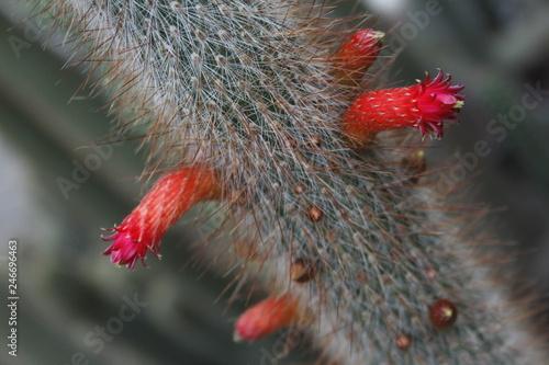 Valokuva  Flor de cactus