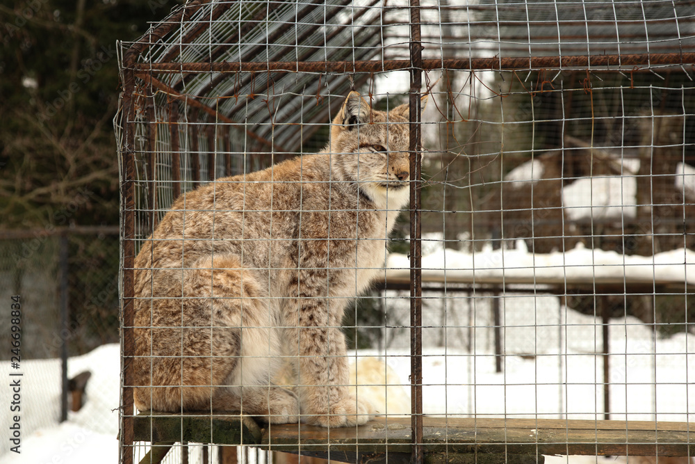 Lynx sits in cage