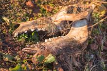 Skull Of An Animal In The Desert