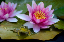 A Frog Sits On The Lily Pad With Blooming Pink Waterlilies.