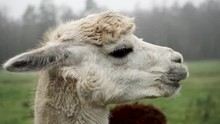 Handheld Close Up Shot Of A White Alpaca Chewing Food With A Soft Background.