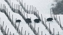 Female Wild Boars Sus Scrofa With Their Young Babies Crossing A Snowy Vineyard
