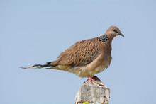 Spotted Dove Is Common Around Human Habitation And Can Easily Be Seen In Parks, Gardens And Agricultural Areas.