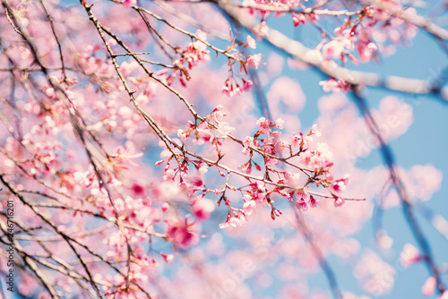 Spoed Fotobehang Kersenbloesem Pink cherry blossom with blue sky, beautiful flowers in spring season