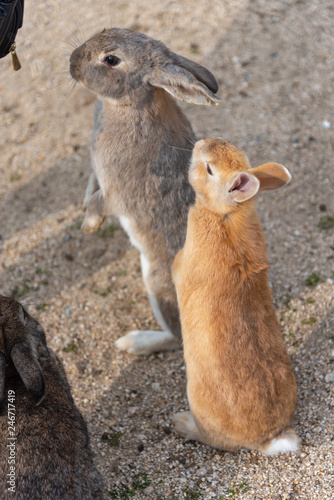 Feeding wild rabbits in winter sunny day on Okunoshima, as known as