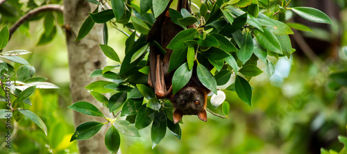 Photo Flying Fox Bat during the day time.