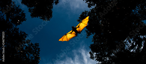 Fotografia Flying Fox Bat during the day time.