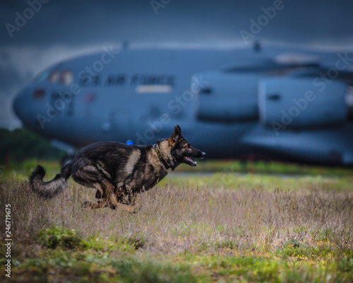 Police K9 running on military runway Canvas Print