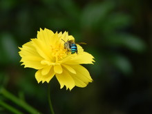 Blue Banded Bee On Yellow Flower (Amegilla Cingulata)